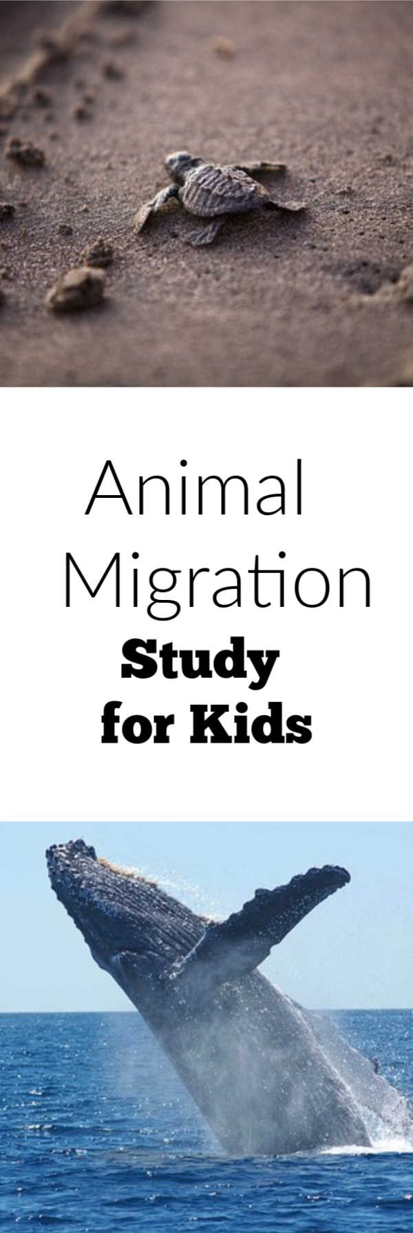 Studying animal migration school age activity. Great for homeschool learning as well.